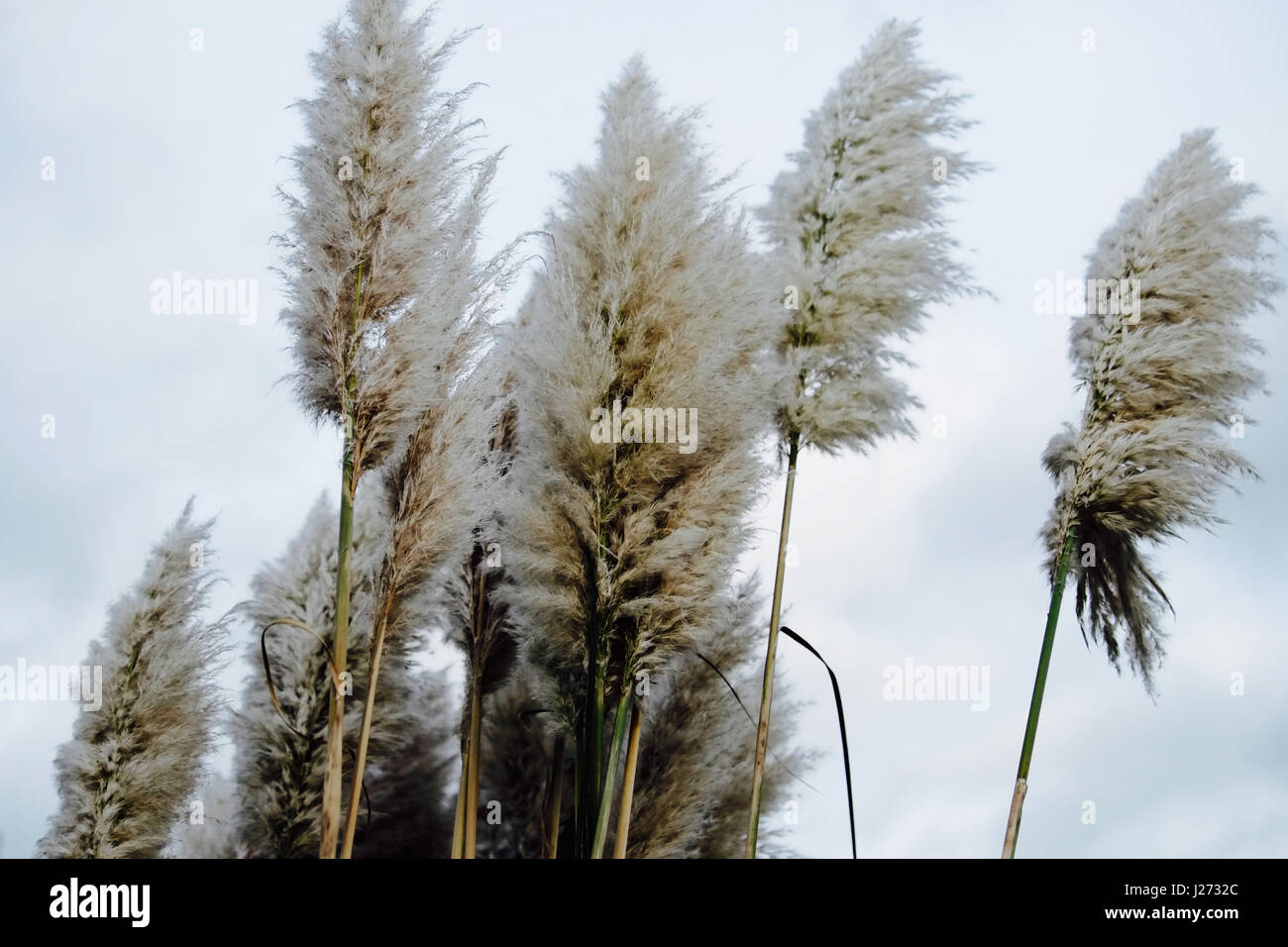Soft fluffy tall Pampas Plume Grass beige  plumes on a cloudy day. - Stock Image