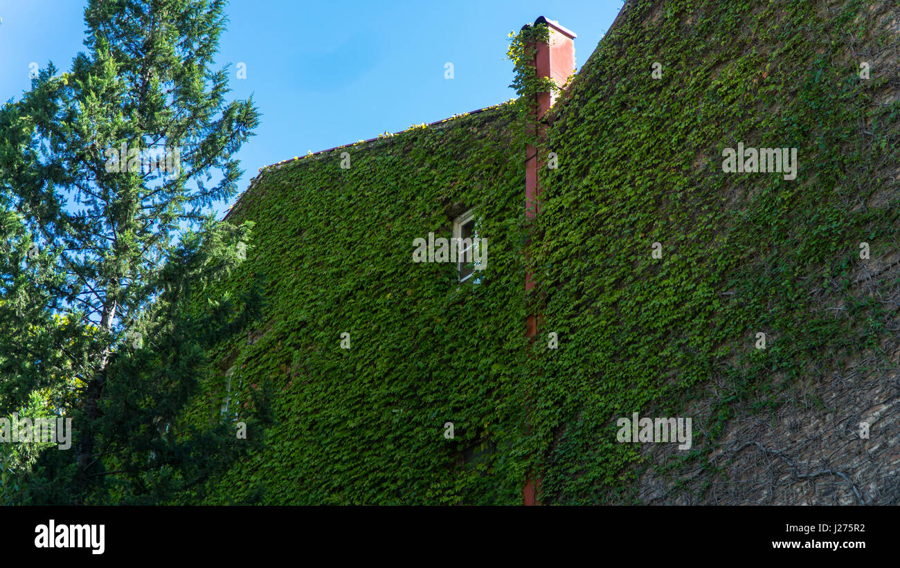 Wall of house, overgrown wild grapes in the old town. Tbilisi, Georgia. Stock Photo