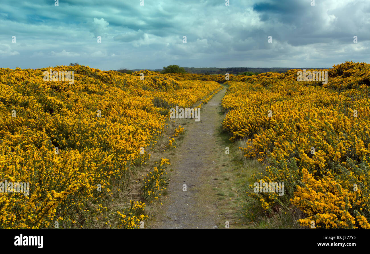 Gorse in flower on Salthouse Heath Norfolk in Spring - Stock Image
