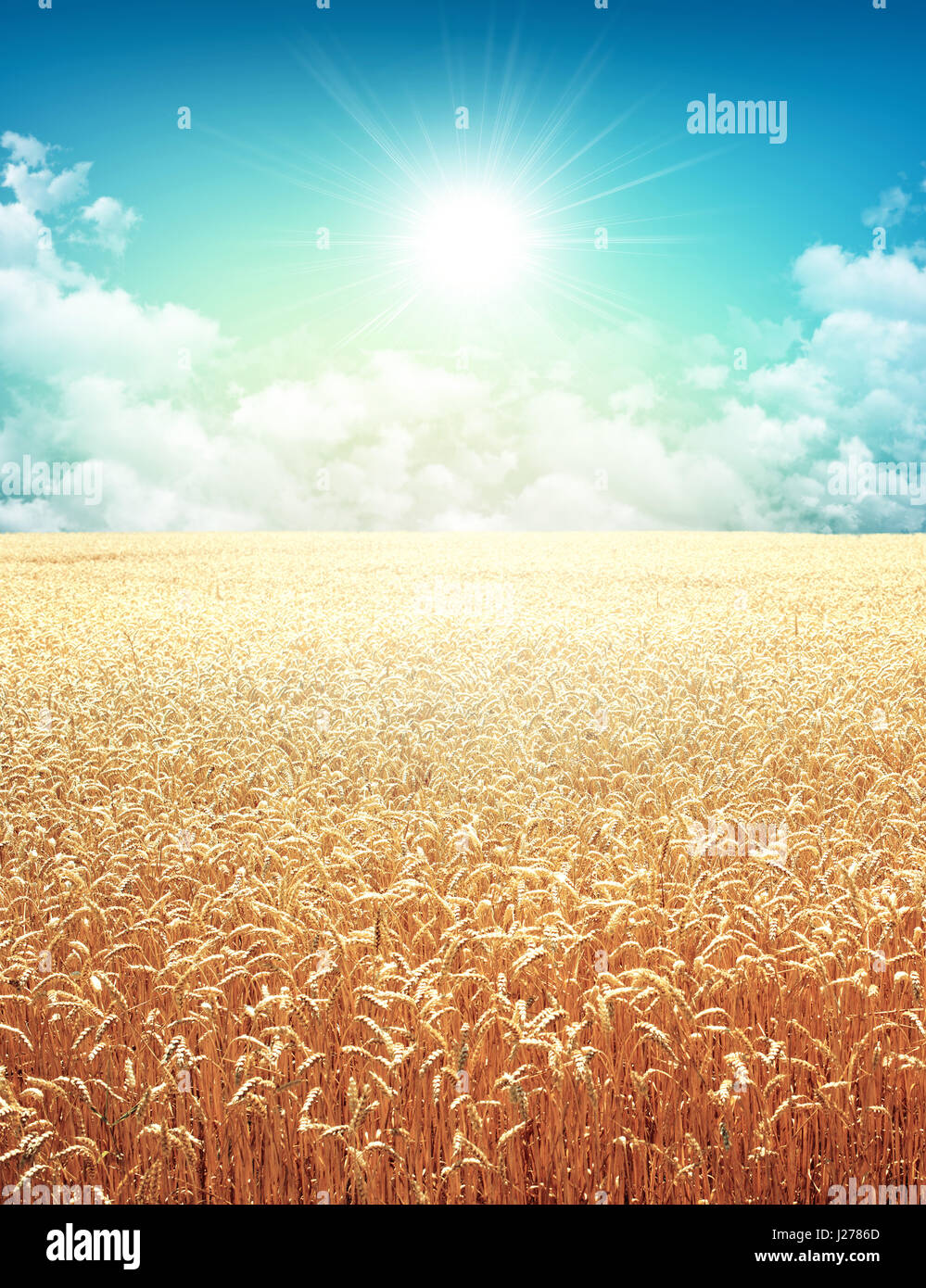 Golden wheat field growing slowly on a sunny morning sky - Stock Image