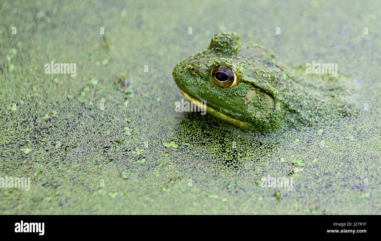 Close-up of North American bullfrog (Rana catesbeiana) in a pond of algae with prominent brown iris, almond-shaped Stock Photo