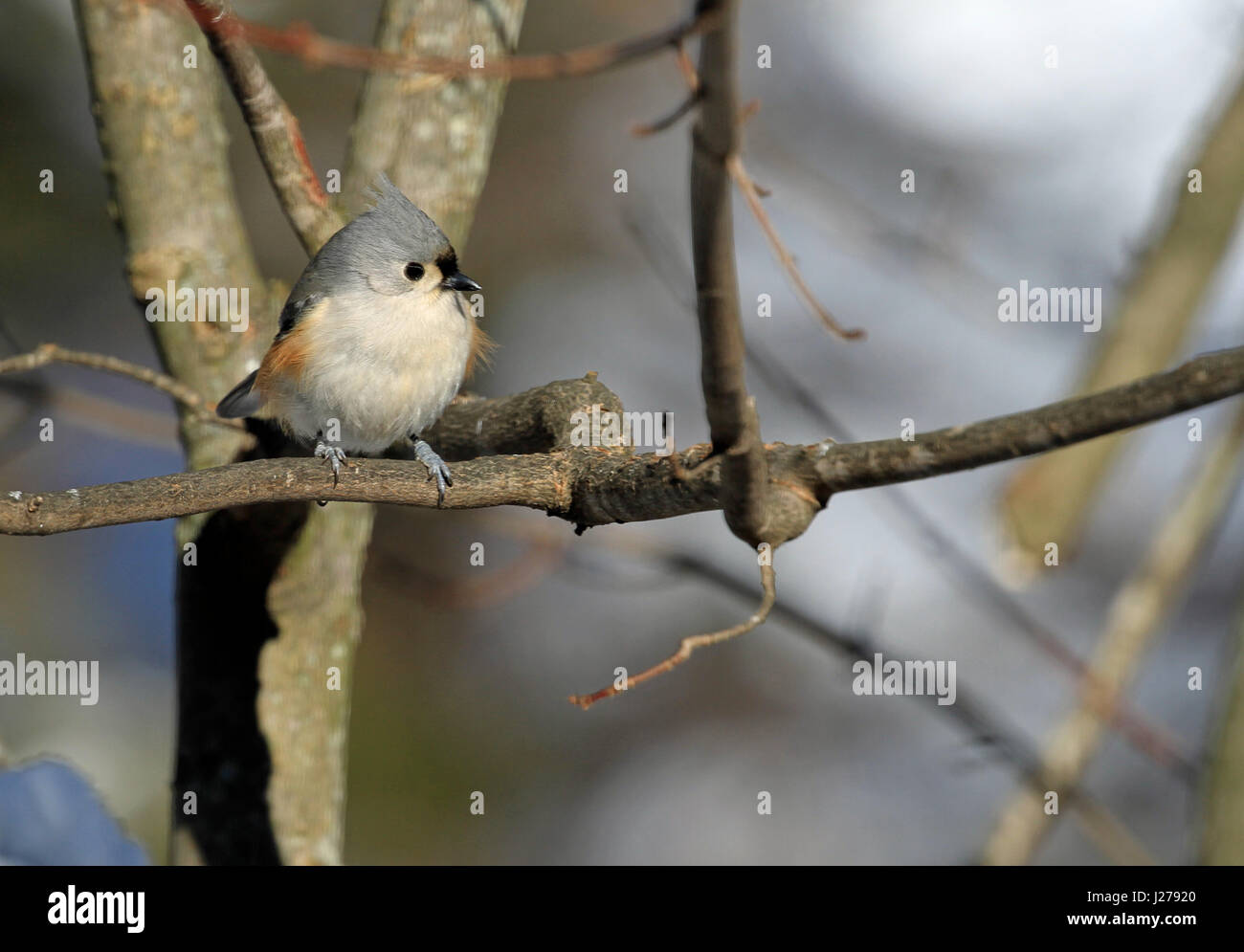 Tufted Titmouse (Baeolophus bicolor) perched on the branch of a maple tree in winter Stock Photo