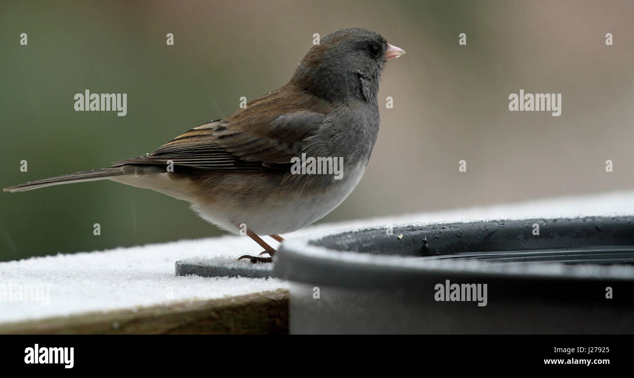 Close-up of a female dark-eyed junco (Junco hyemalis) drinking from a heated birdbath in winter in New England Stock Photo