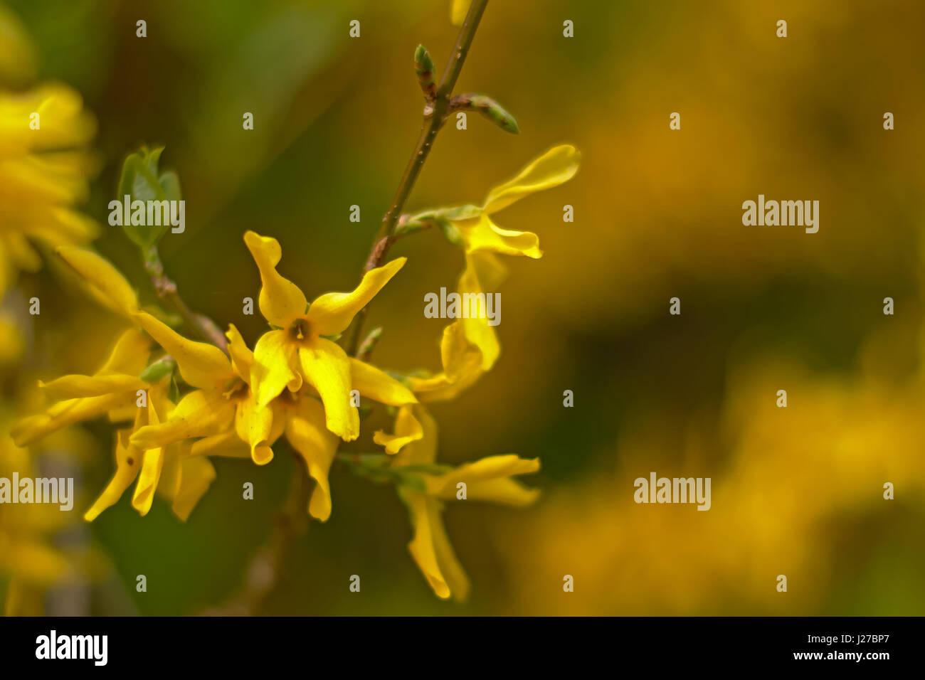 Bright yellow forsythia flowers, selective focus Stock Photo