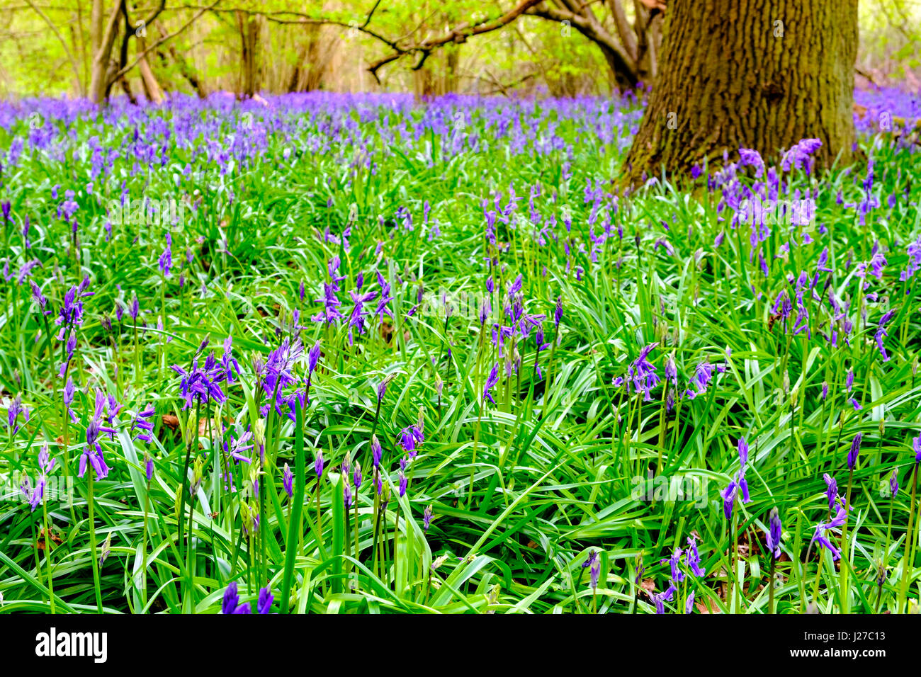 Springtime woodland bluebells in The Chilterns, Buckinghamshire. - Stock Image