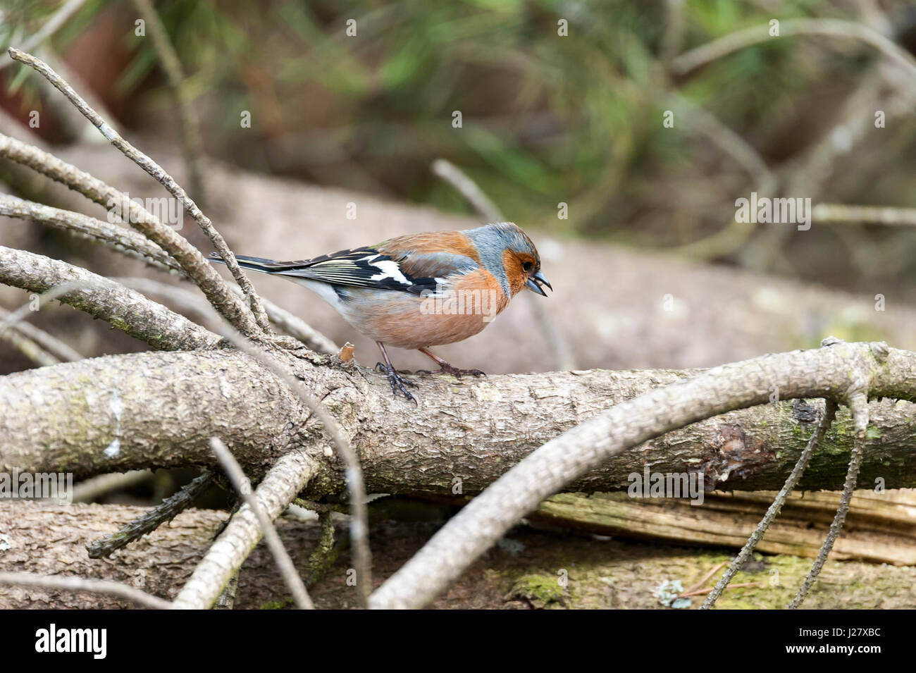 Chaffinch Stock Photo