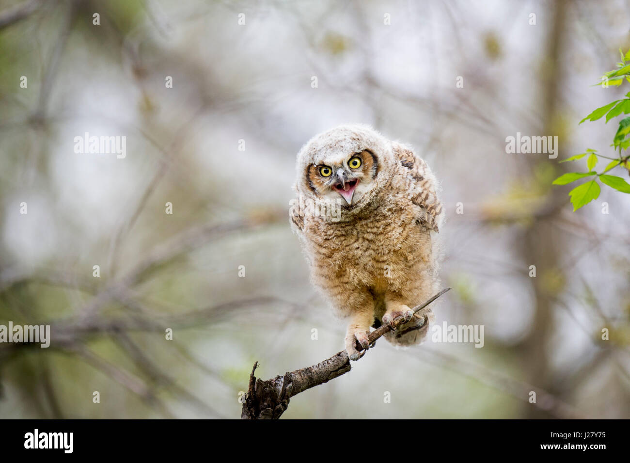 A young Great-horned Owlet calls out while perched on an open branch in the soft morning light. - Stock Image