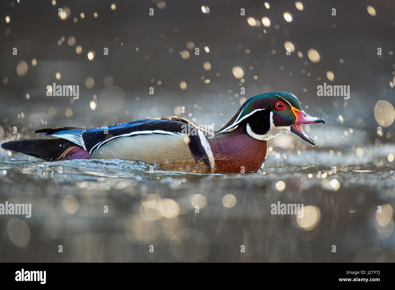 A male Wood Duck calls out with his beak open as a splash of water drops are glowing in the morning sun around him - Stock Image