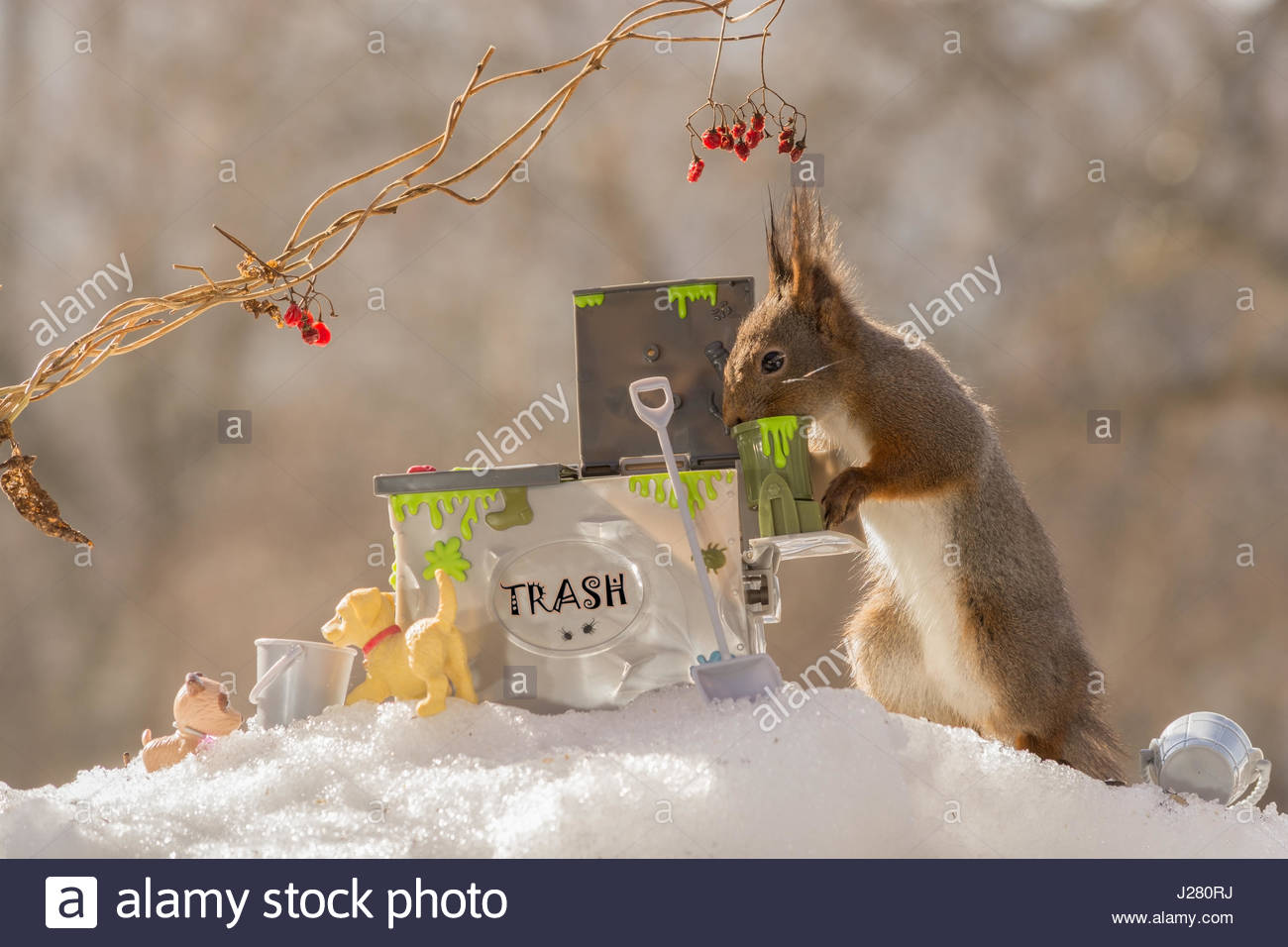 profile and close up of red squirrel standing eating out of a trash can - Stock Image