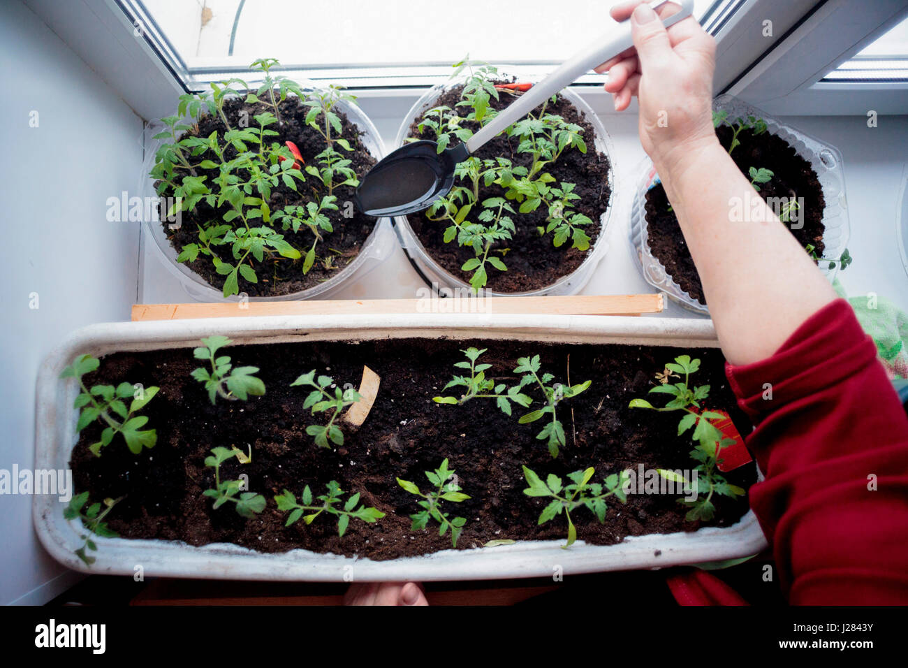 Cropped hand of woman watering potted plants by window at home - Stock Image