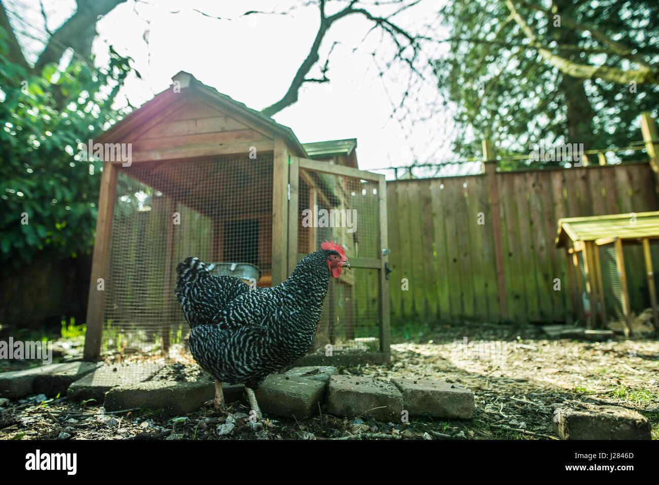 Chicken walking on field in farm Stock Photo