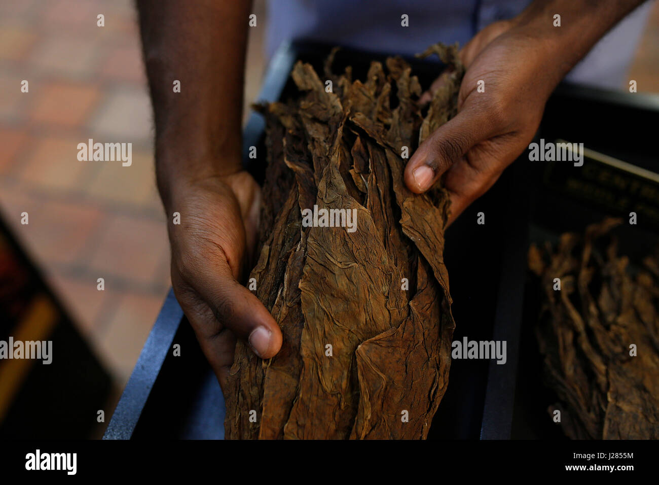 Cropped hands of man holding tobacco leaves in workshop - Stock Image