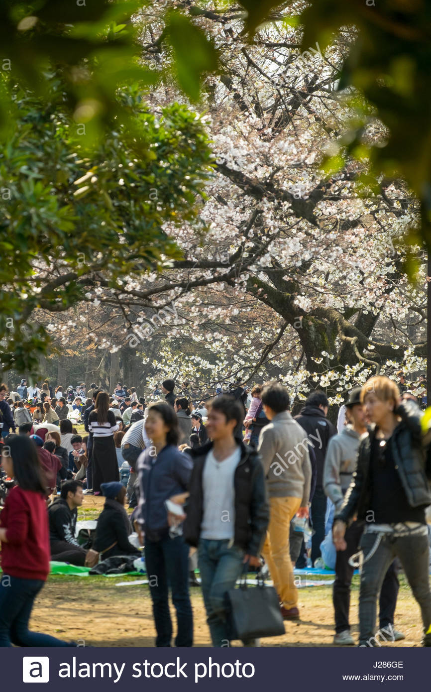 Crowds of people under cherry blossoms as part of the Japanese tradition of Hanami or flower viewing, friends, family - Stock Image