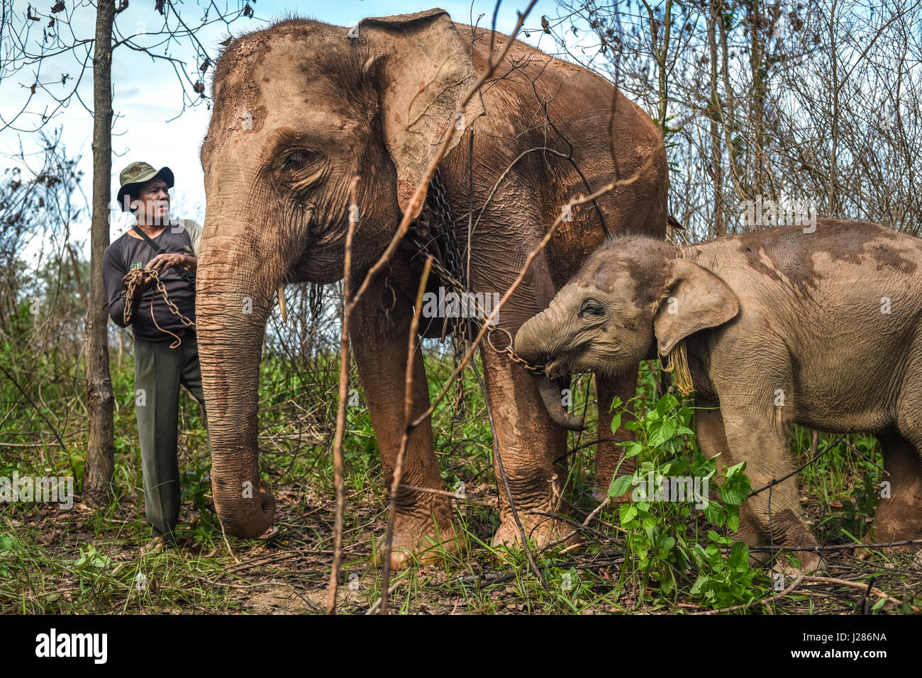 A mahout is preparing an elephant calf to walk with its mother on the feeding ground of Way Kambas National Park, - Stock Image