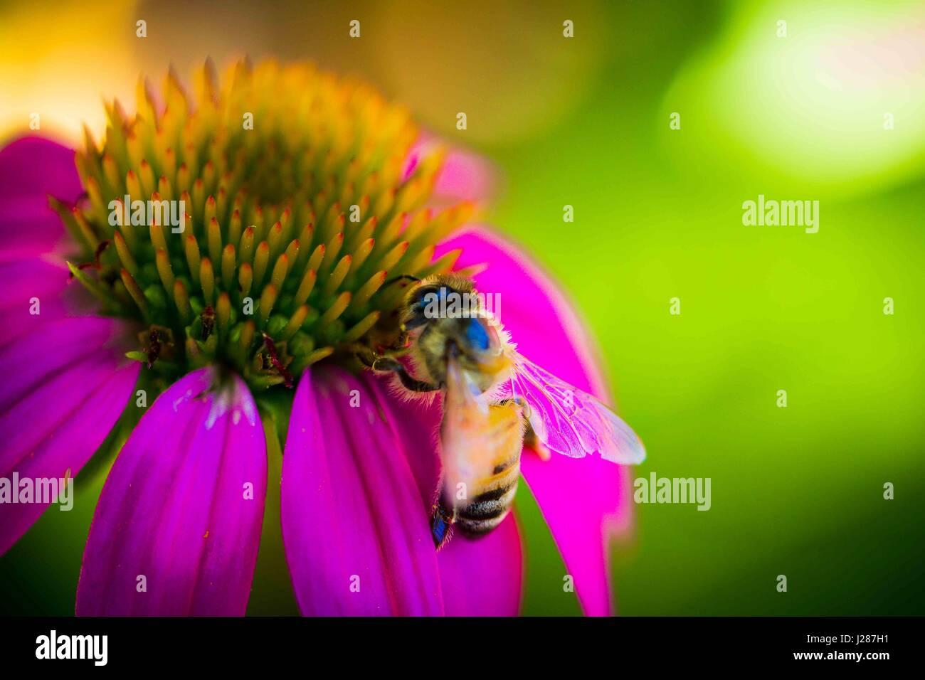 Regular Honey bees in the garden - Stock Image