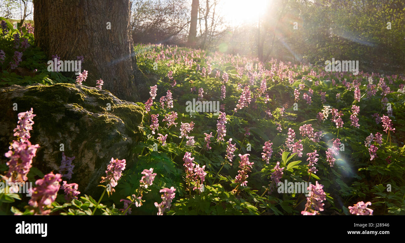 Low angle shot of magenta flowers in the sunset with a real lensflare - panoramic cropped. - Stock Image