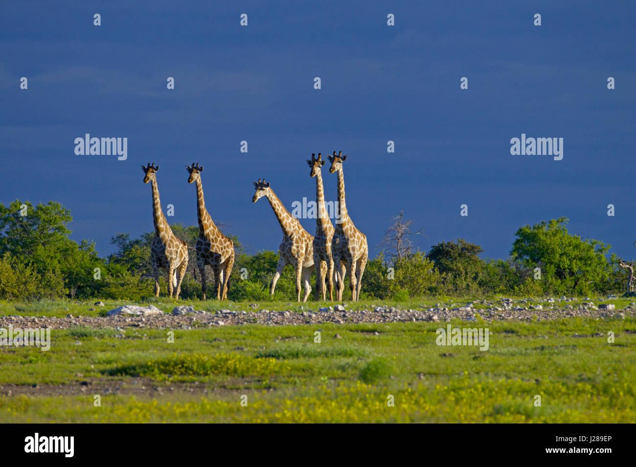 Angolan giraffe Giraffa giraffa angolensis known as Namibian giraffe, is a subspecies of Southern giraffe found - Stock Image