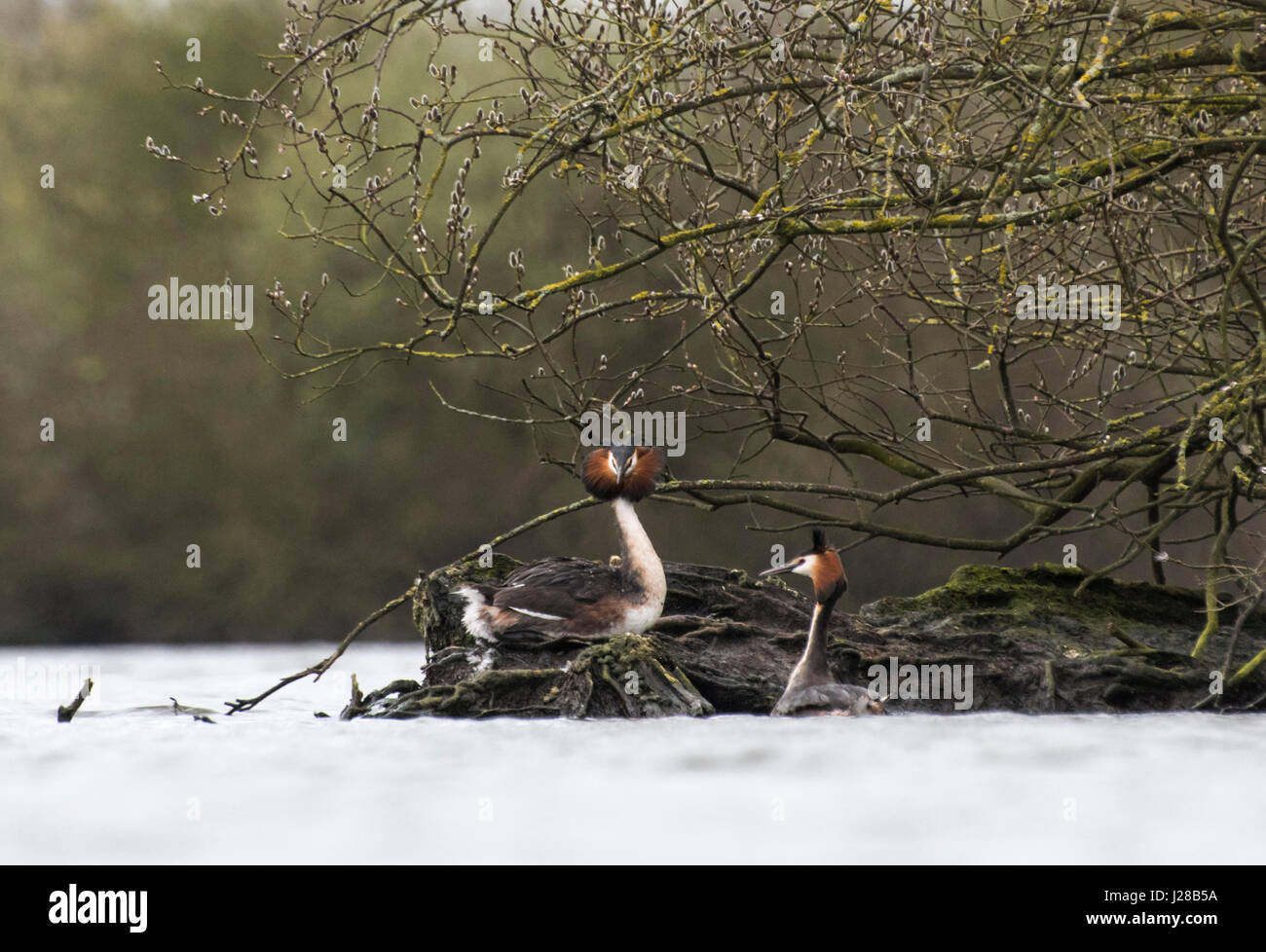 Greay crested grebes - Stock Image