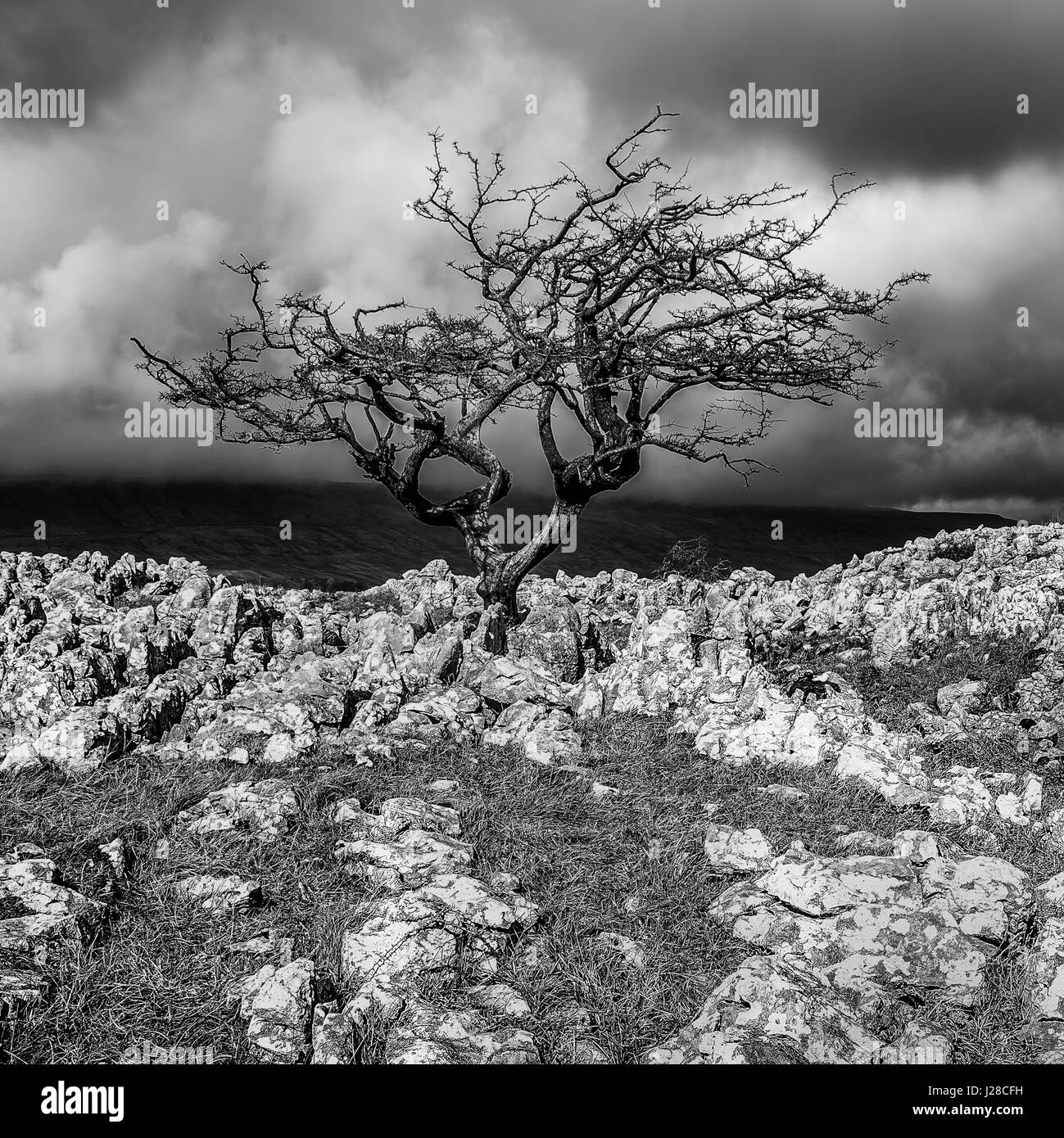 Limestone Pavement and Lone Hawthorn Tree at Twisleton Scar, near Ingleton, Ribblesdale, Yorkshire Dales, UK - Stock Image