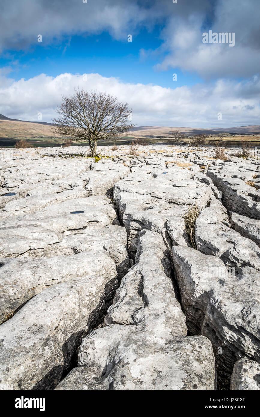 Limestone Pavement and Lone Hawthorn Tree at Twisleton Scar, near Ingleton, Ribblesdale, Yorkshire Dales, UK - Stock Image