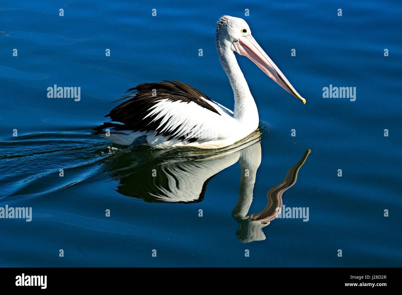 Black and white Australian Pelican Bird, Pelecanus conspicillatus, close-up swimming in blue salt water with clear - Stock Image