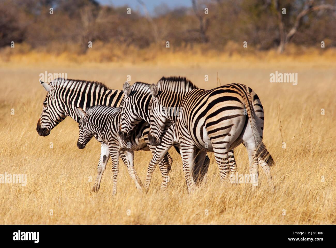 Zebras at Central Kalahari Game Reserve, Botswana - Stock Image
