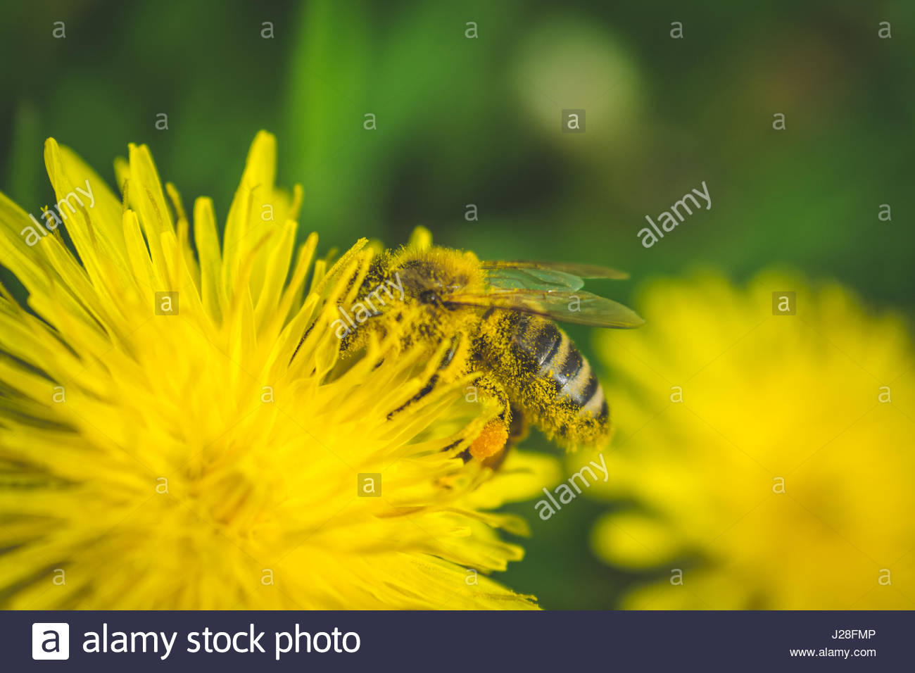 Dandelion. Spring flower. Bee loves this flower. This flower grows in parks. Stock Photo