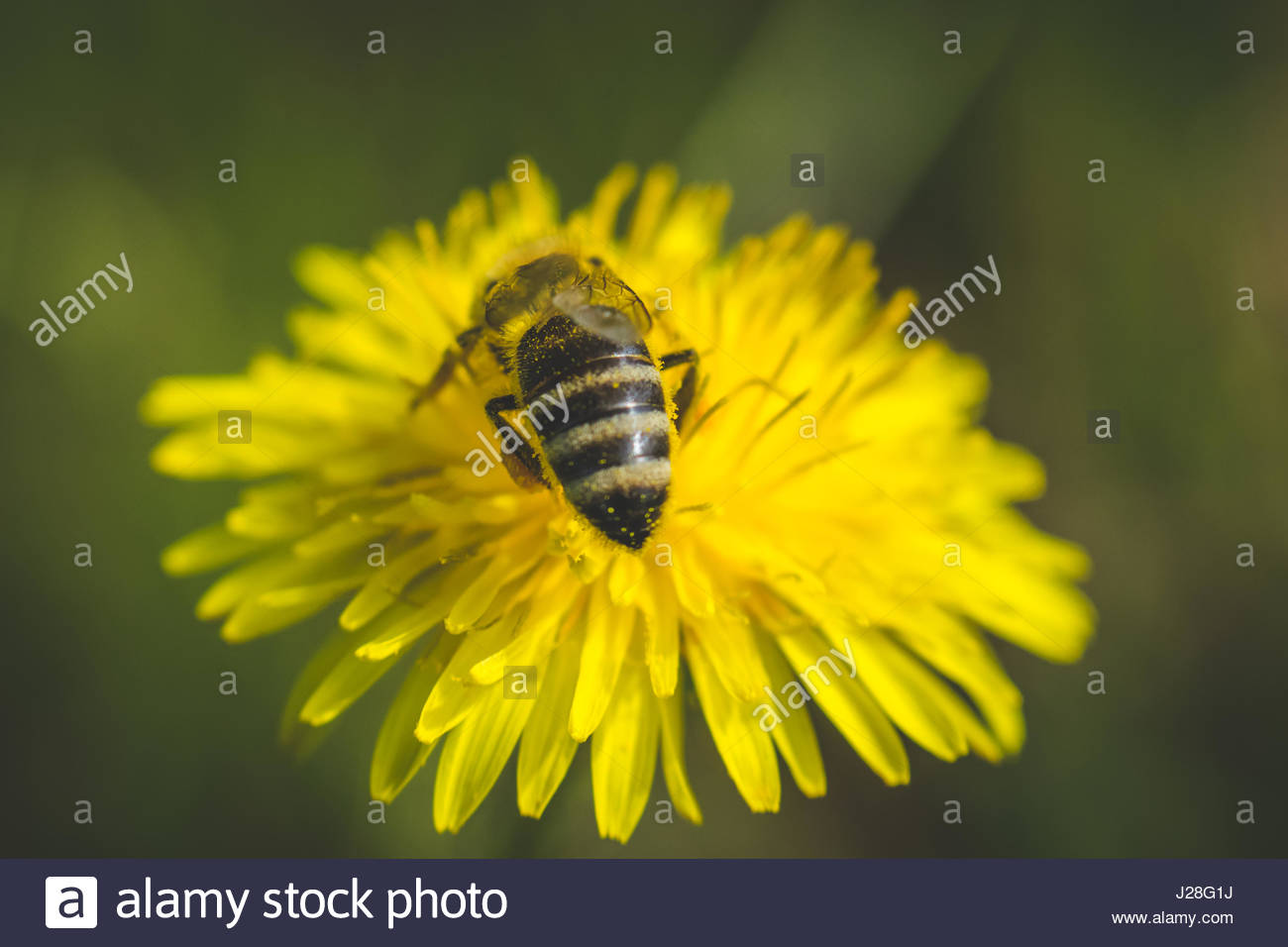 Dandelion. Spring flower. Bee loves this flower. This flower grows in parks. - Stock Image