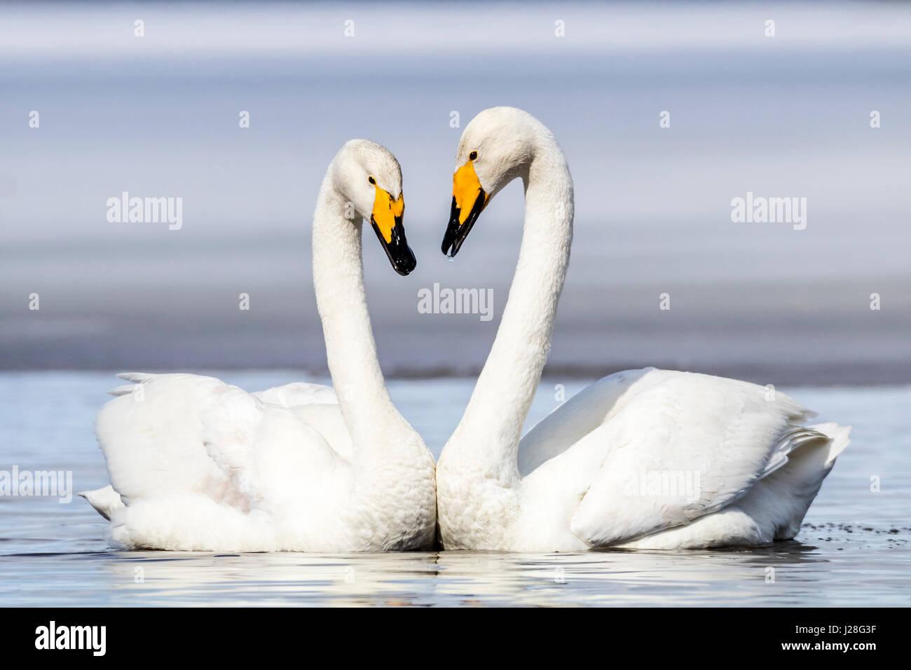 Whooper swan - Stock Image