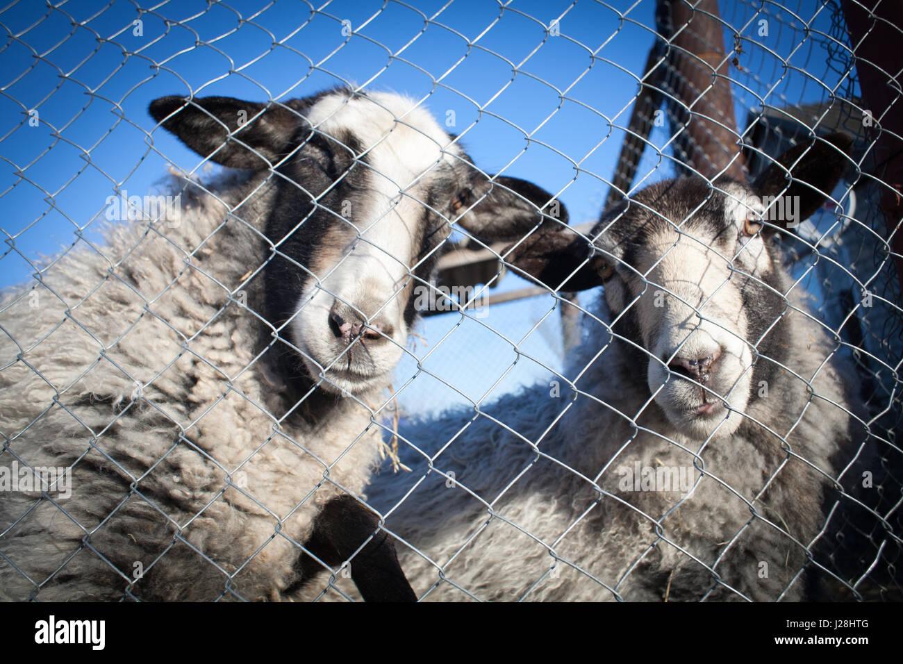 Australia Paddock Sheep Stock Photos & Australia Paddock