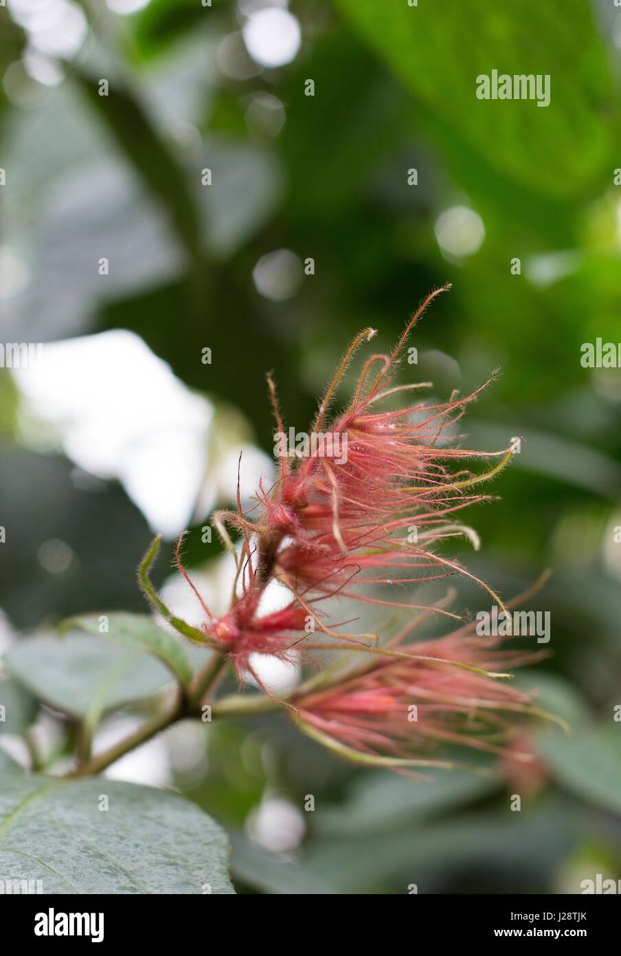 A wispy pink flower. - Stock Image