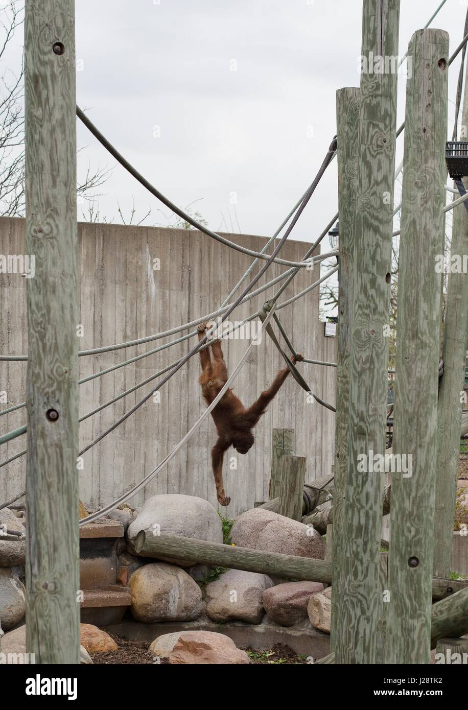 A young orangutan swings from ropes in an outdoor enrichment area at the Como Zoo in St. Paul, Minnesota, USA. - Stock Image