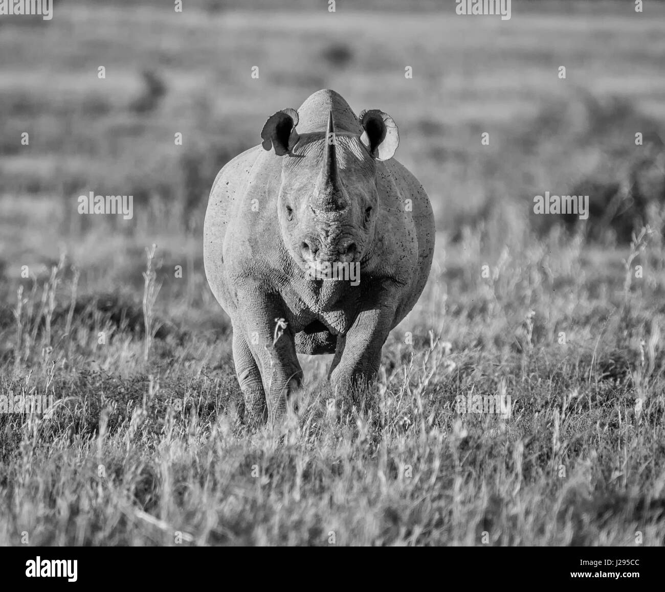 A lone adult Black Rhinoceros in grassland in Southern Africa - Stock Image