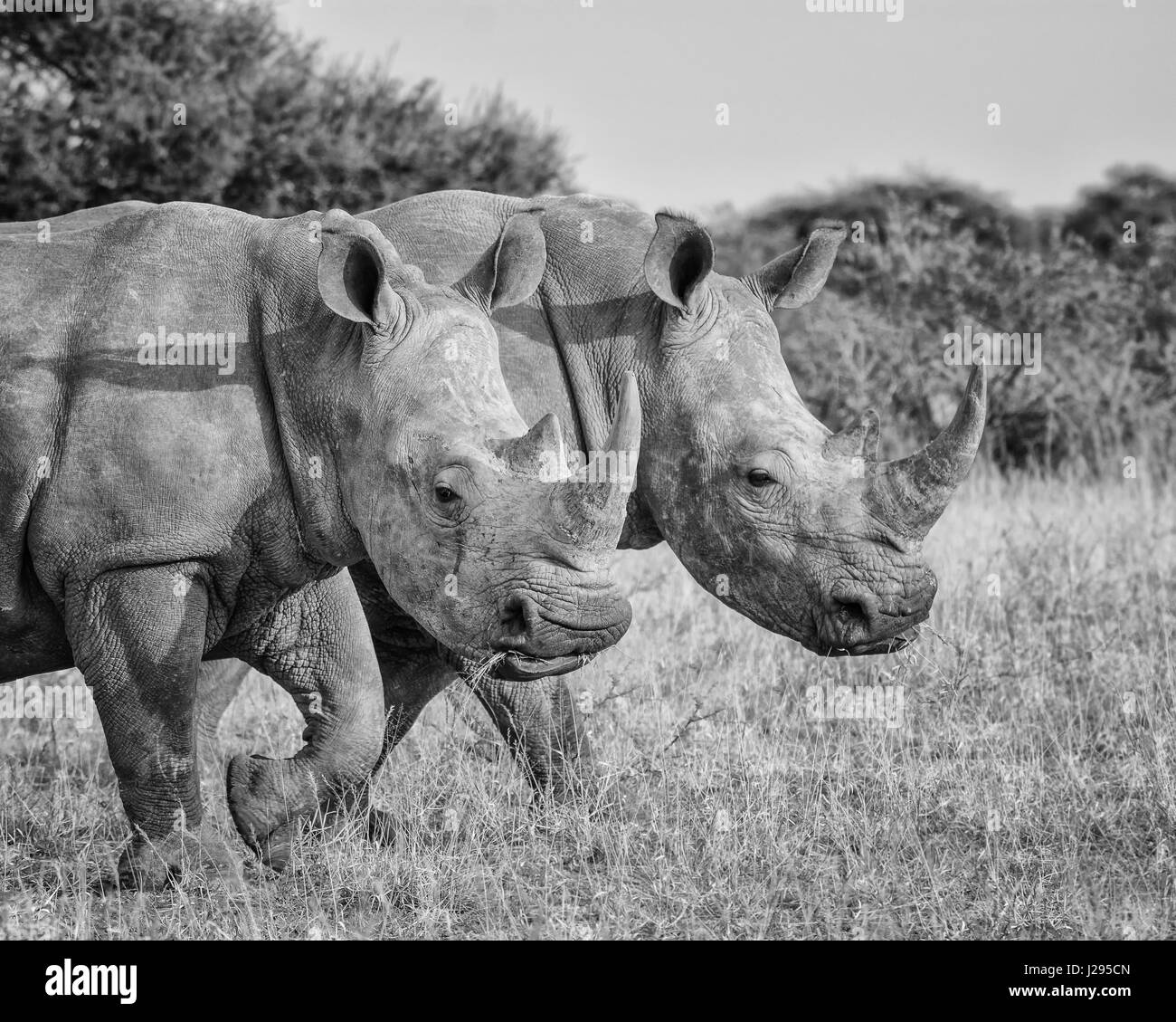 Double trouble with a pair of White Rhinos walking through the grass in the Northern Cape, South Africa - Stock Image