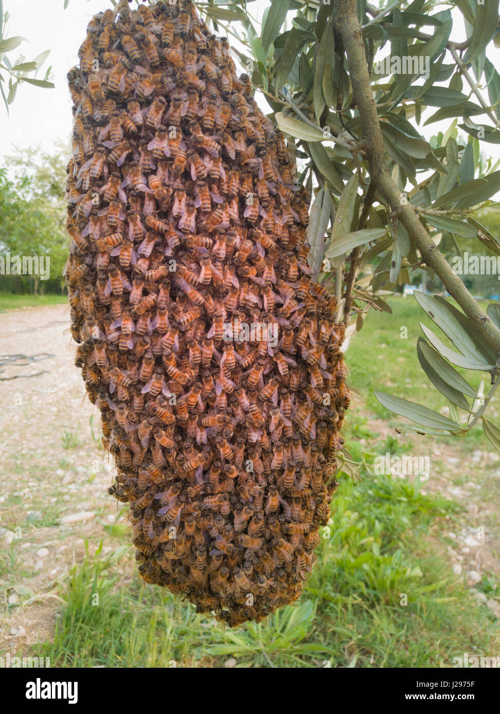 Swarm of bees in a olive tree - Stock Image