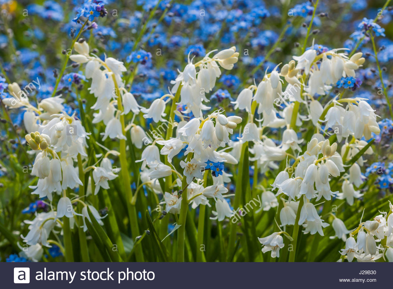 White bluebells stock photos white bluebells stock images alamy hybrid white bluebells stock image mightylinksfo