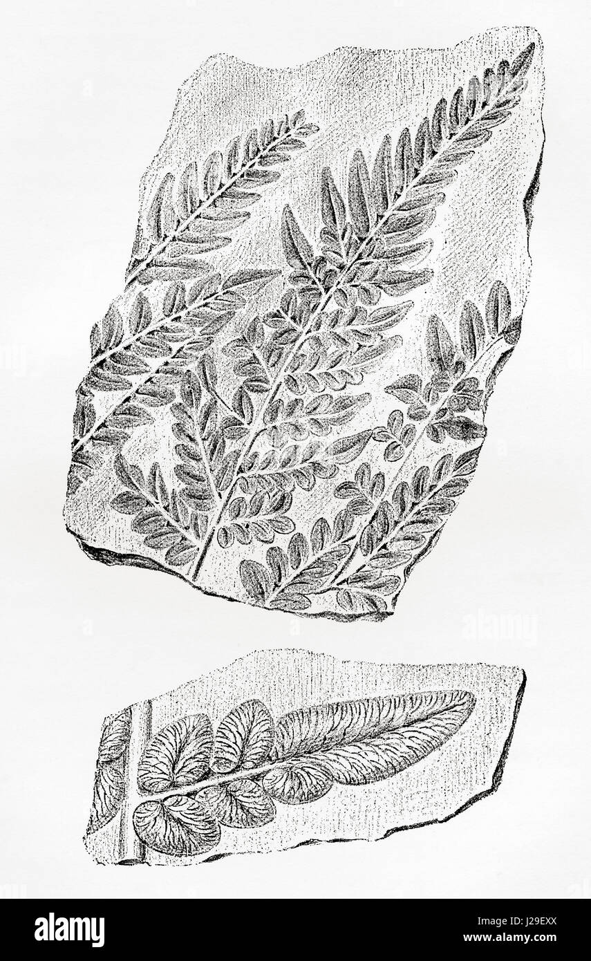 Fern fossils in coal.  From The World's Foundations or Geology for Beginners, published 1883. - Stock Image