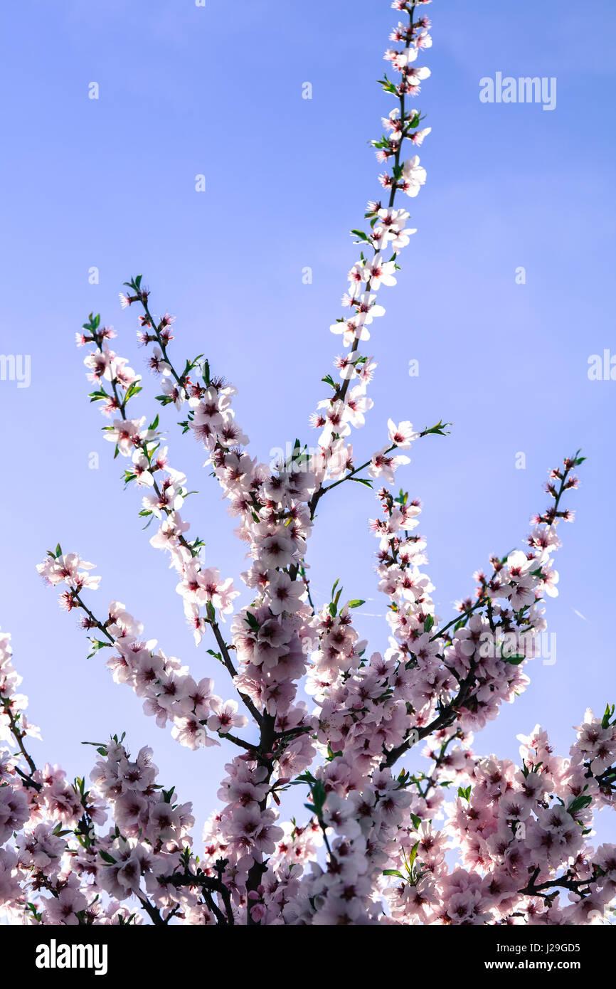 Mandelblüte Stock Photo