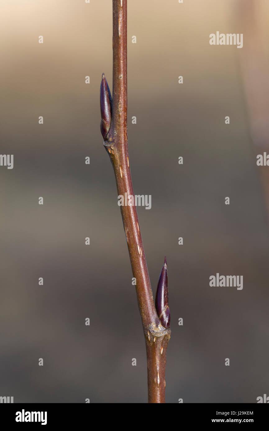 Balsam-Pappel, Balsampappel, Knospe Knospen, Populus spec., balsam poplar, bud, buds - Stock Image