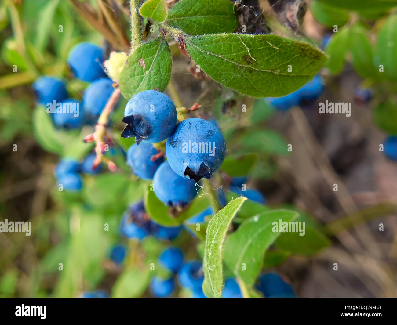 Wild blueberries covered with fine spider webs. - Stock Image