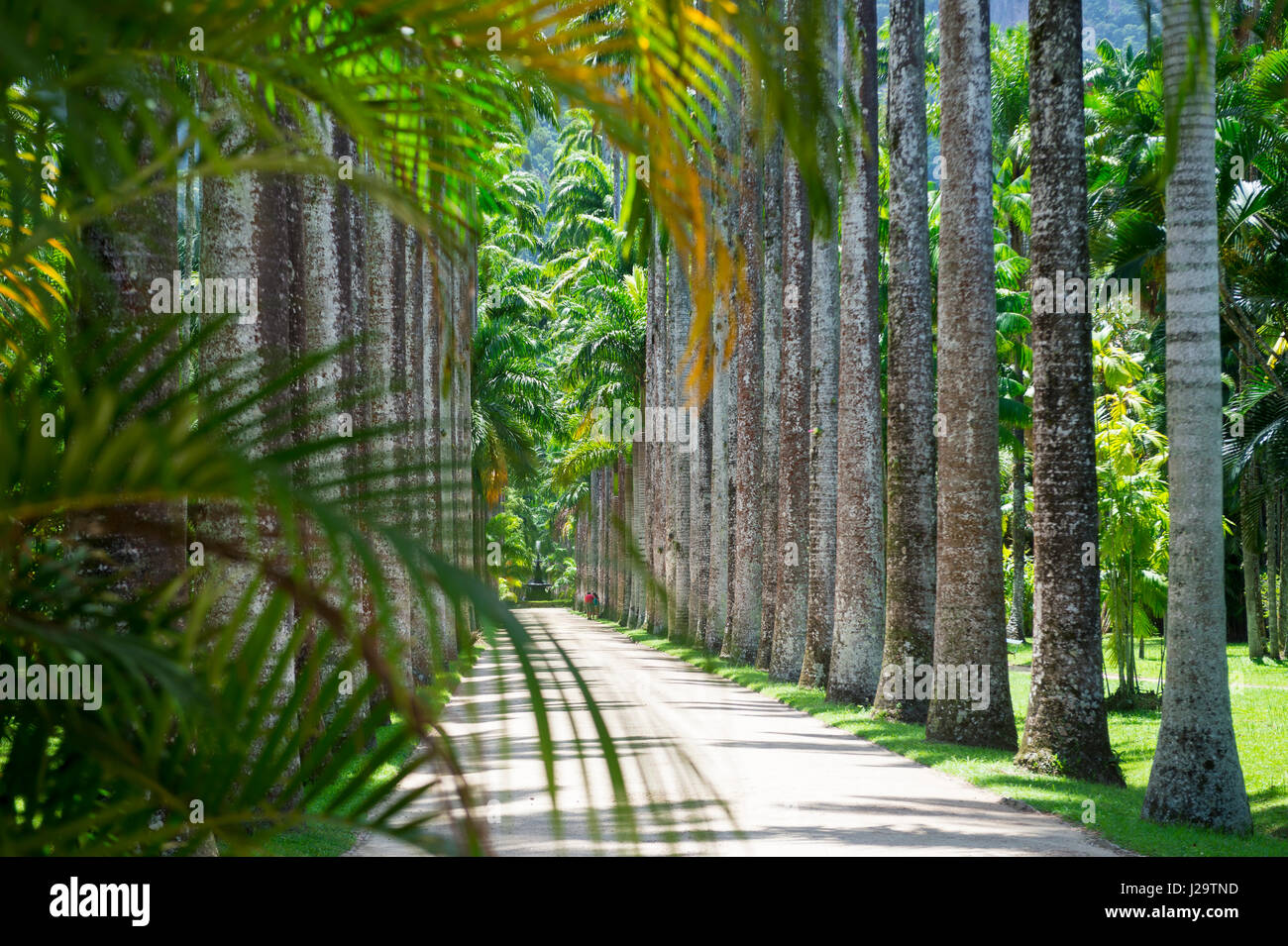 Scenic view of avenue of royal palms framed by palm fronds in the botanic garden in Rio de Janeiro, Brazil - Stock Image