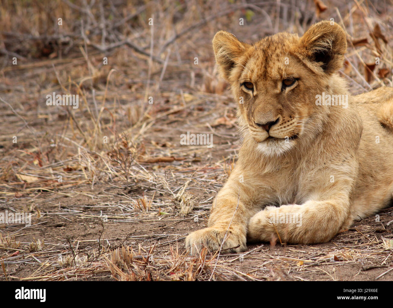 Stunning wild lion cub resting in the bush - Stock Image