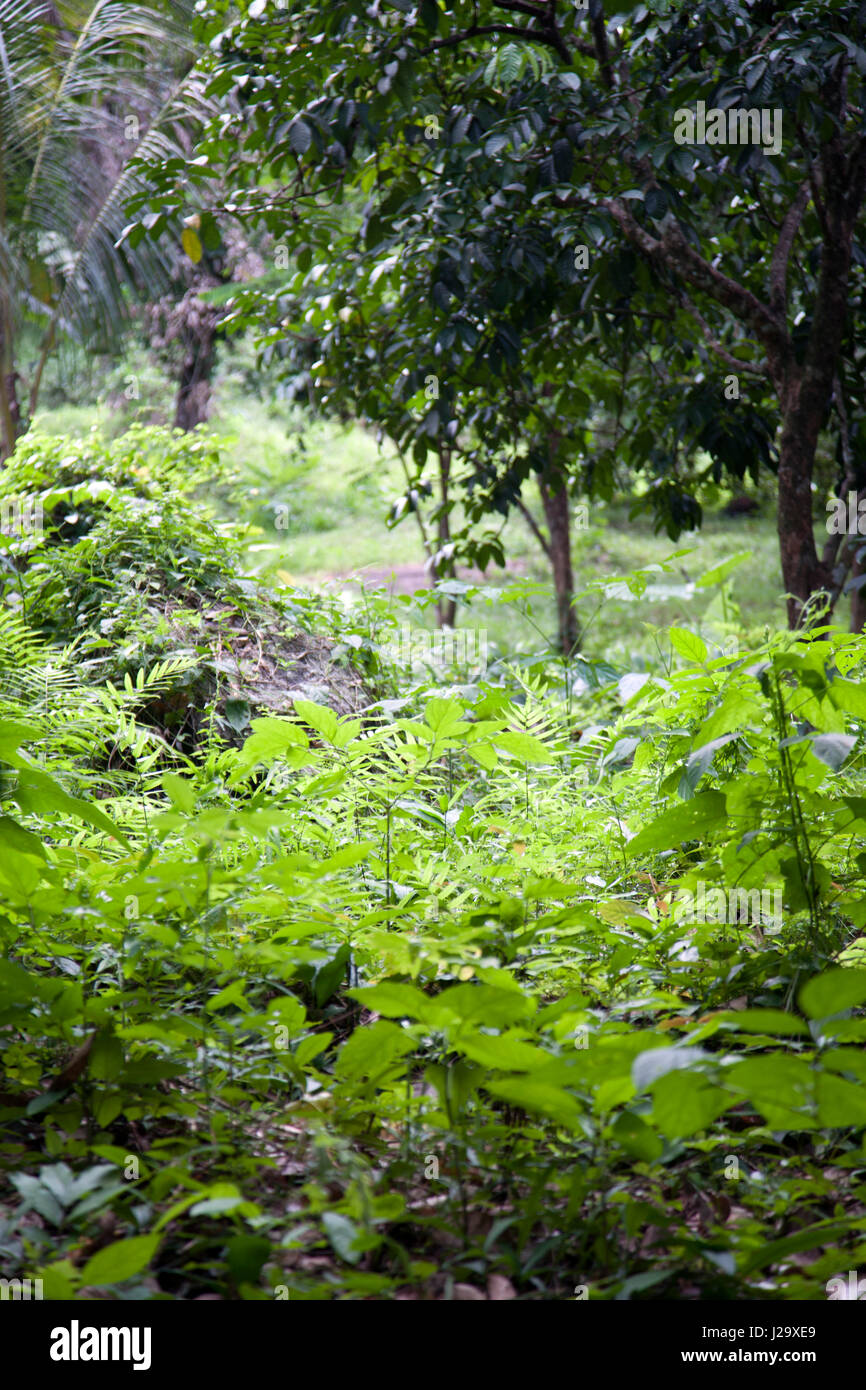 Hin Lad waterfalls Vegetation in Ko Samui, Thailand - Stock Image