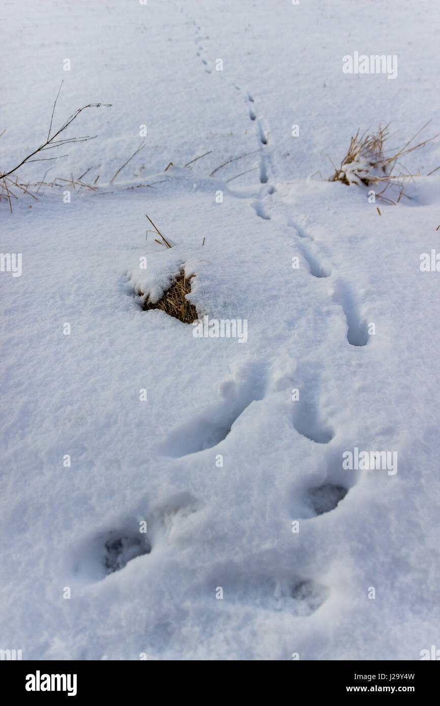 Footprints from an animals paws in snow - Stock Image