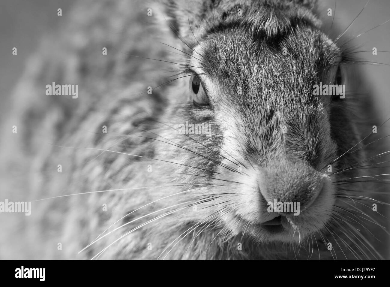Brown Hare  adult close up in black and white  Powys, Wales, UK - Stock Image