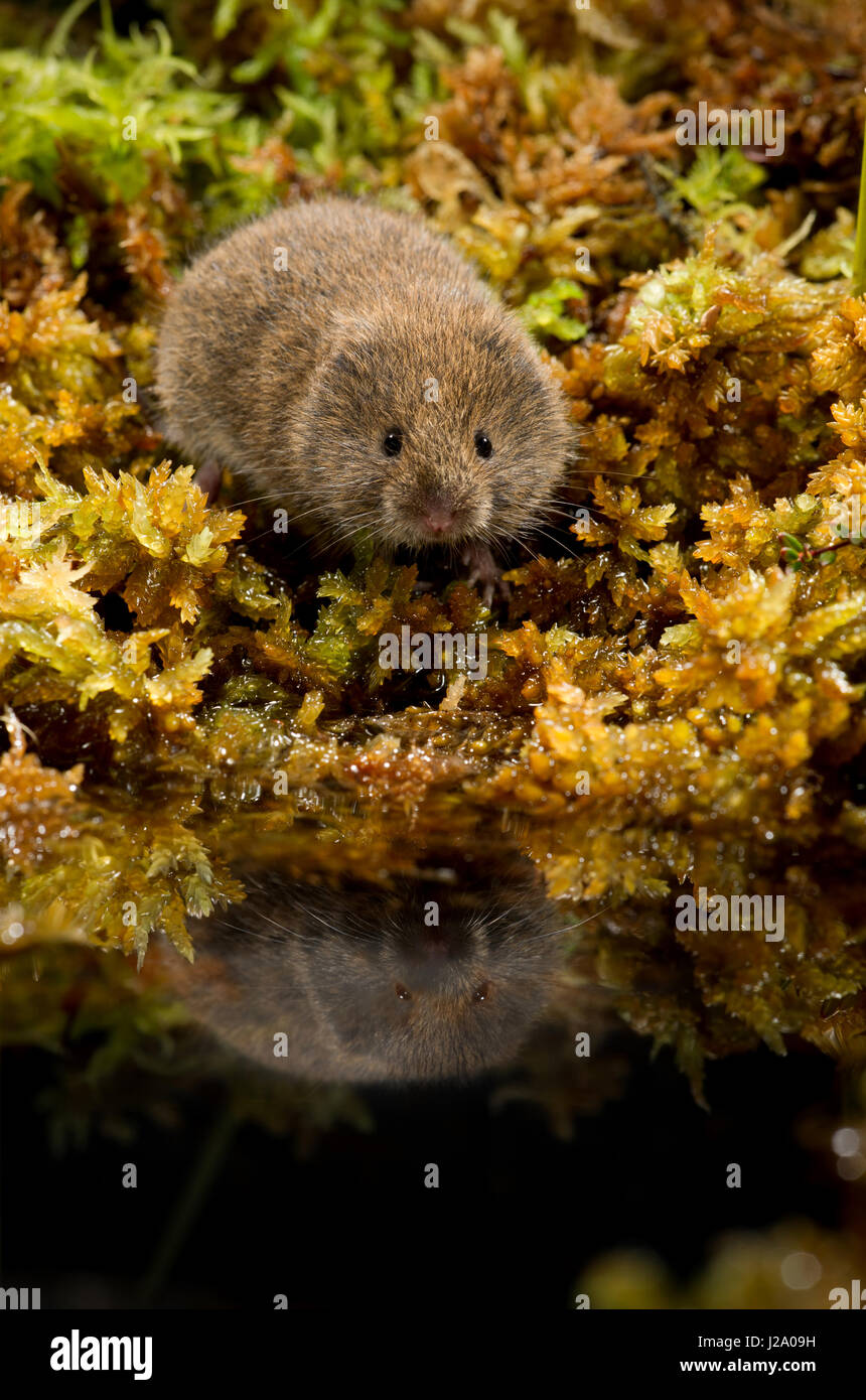 The field vole or short-tailed vole, Microtus agrestis, is a grey-brown vole, around 110mm in length, with only - Stock Image