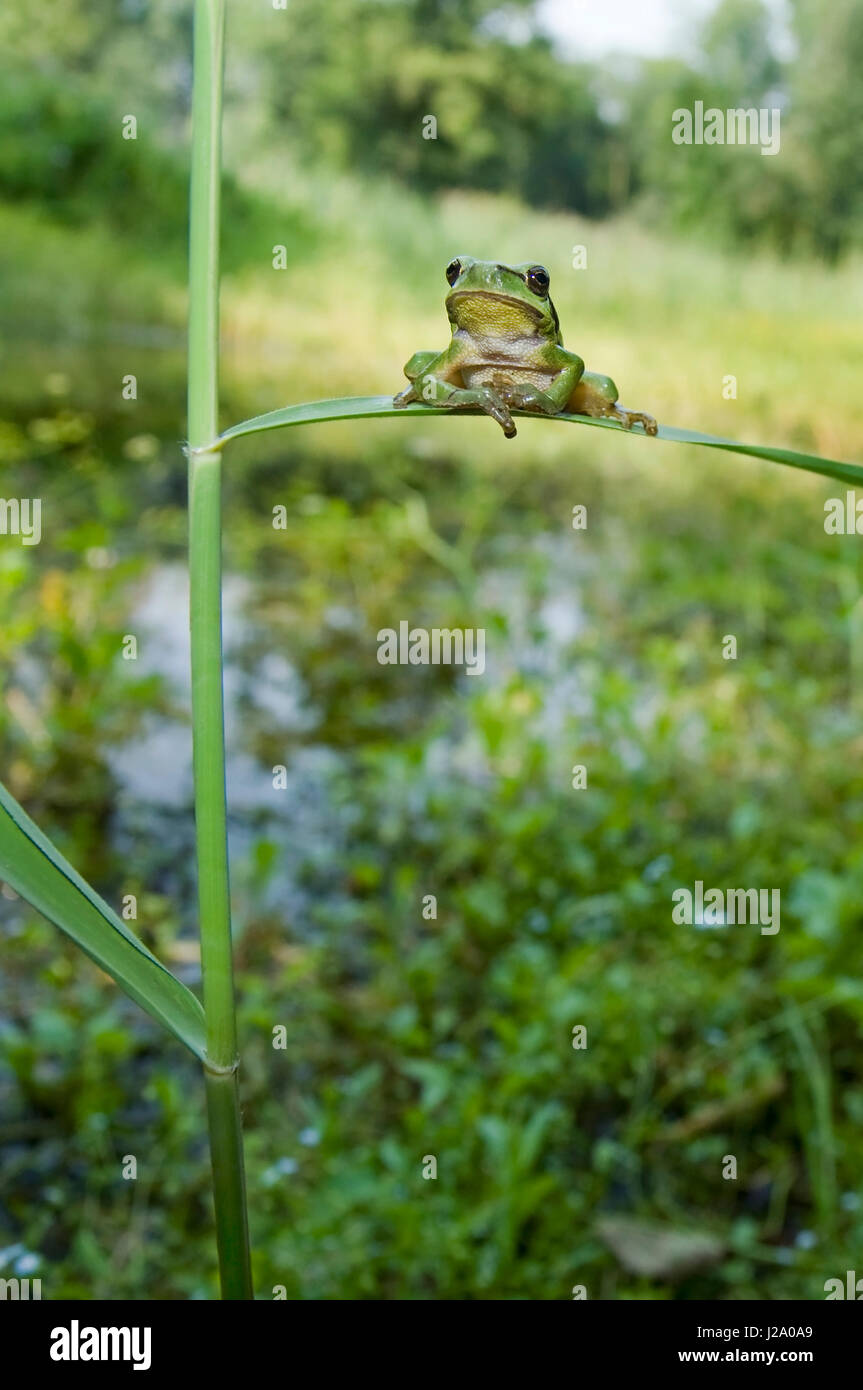 Wide angle shot of an European Tree Frog, resting on a blade of grass in his natural habitat - Stock Image