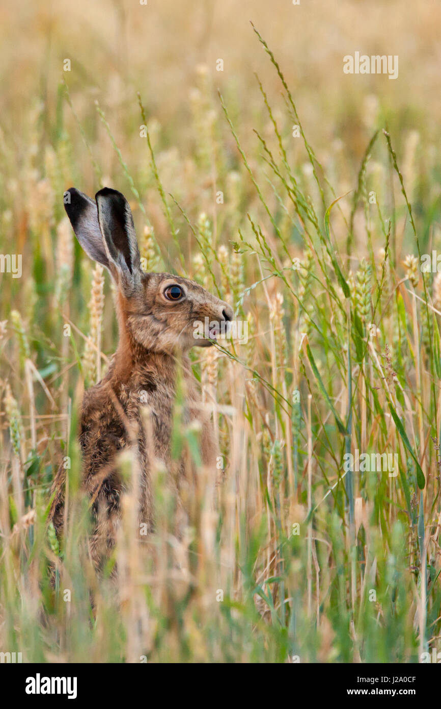 Brown Hare  adult nibbling wheat in wheat field  Powys, Wales, UK - Stock Image