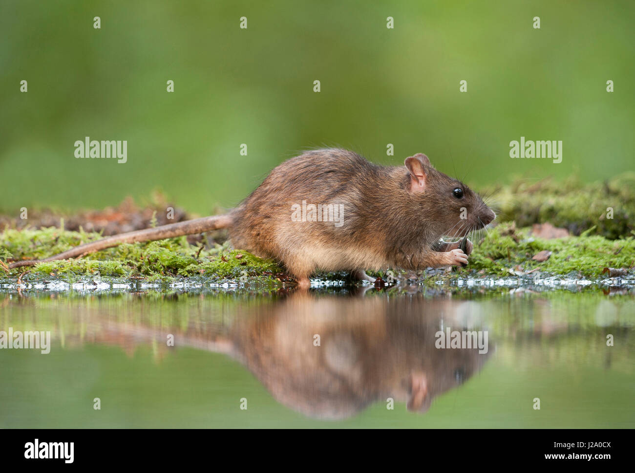 Brown rat drinking at a forest pond - Stock Image