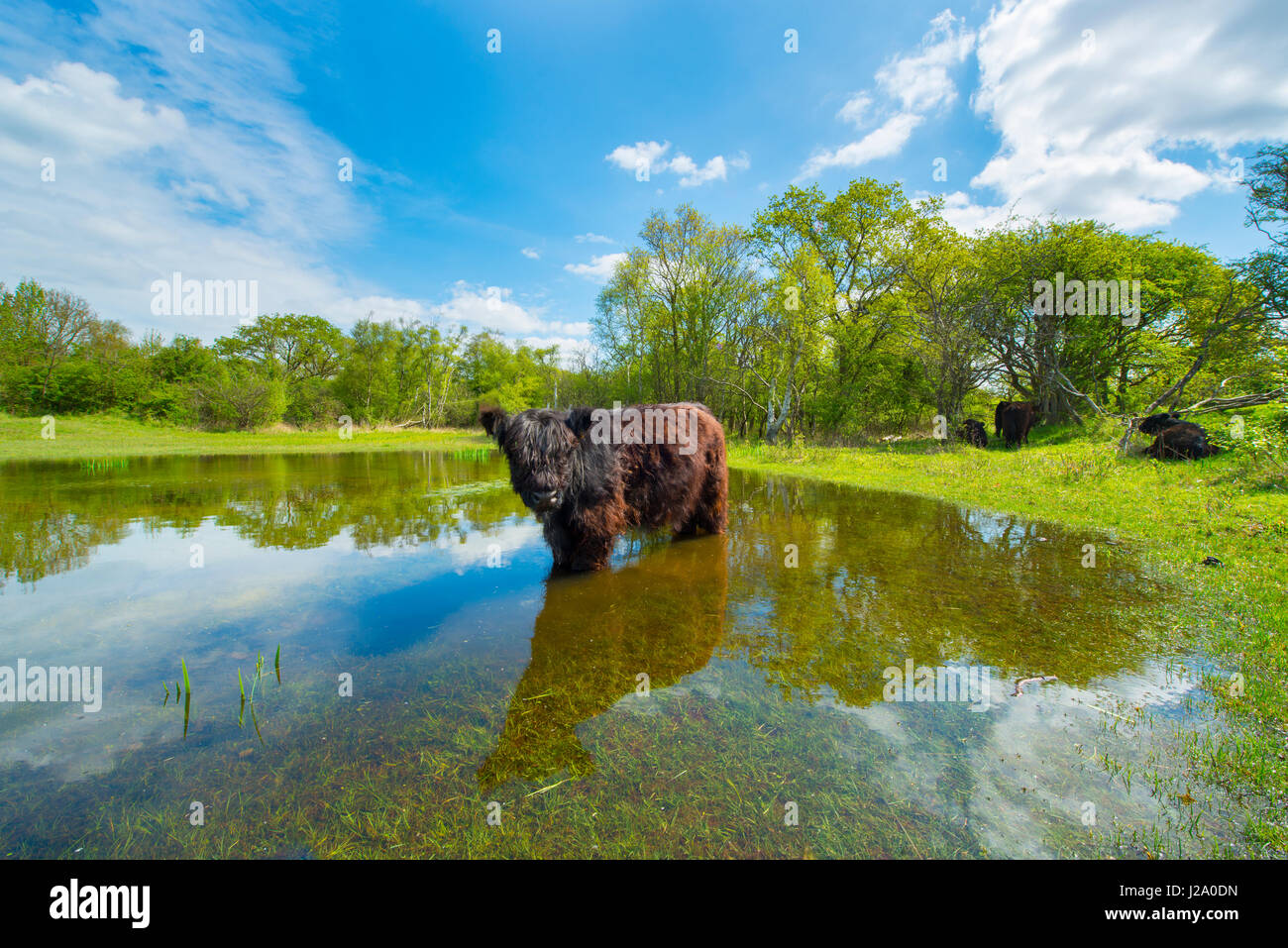 Galloway cow in wet dune slack during summer - Stock Image